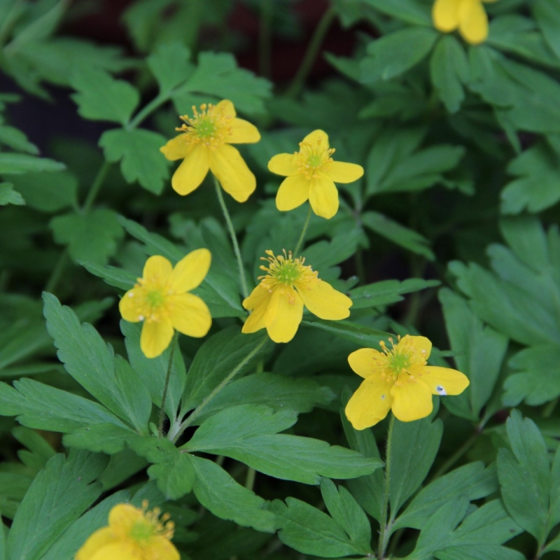 Anemone ranunculoides 'Avon'