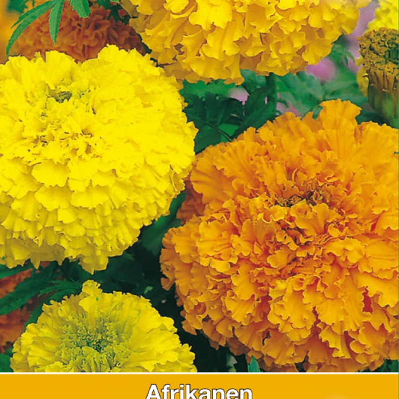 Tagetes erecta 'Crackerjack'
