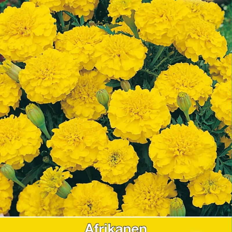 Tagetes patula nana 'Lemon Drop'