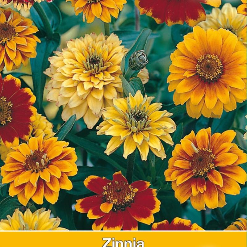 Zinnia angustifolia 'Persian Carpet'