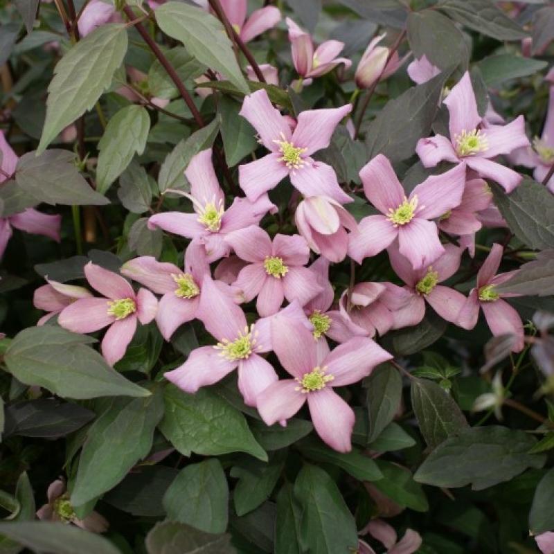Clematis 'Warwickshire Rose'
