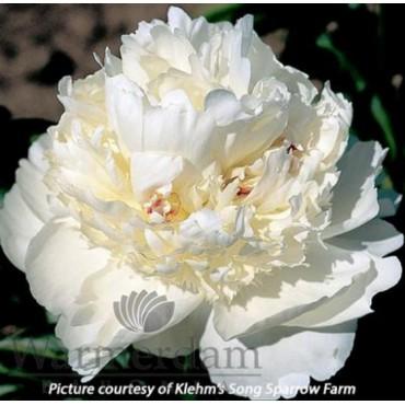 Paeonia 'Bridal Grace'