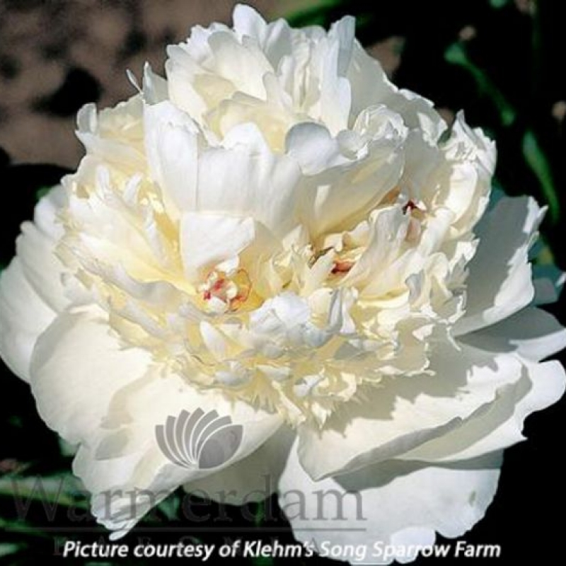 Paeonia 'Bridal Grace'