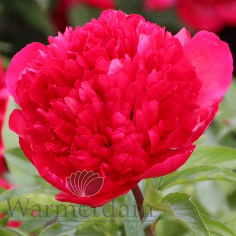 Paeonia 'Many Happy Returns'