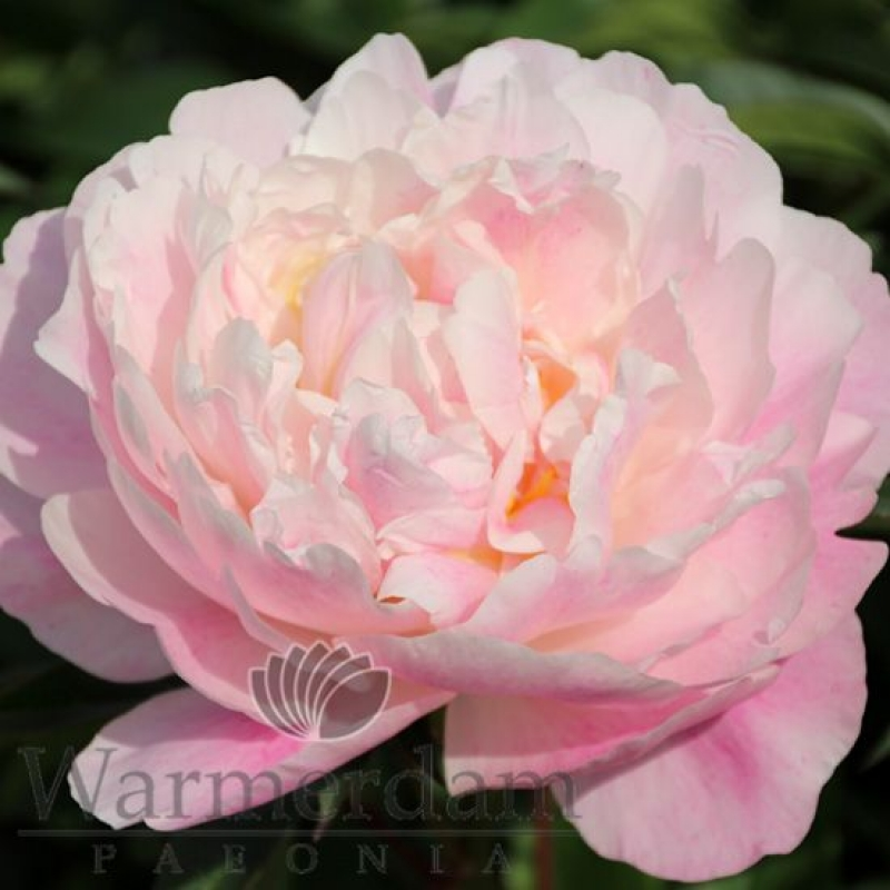 Paeonia 'Serene Pastel'