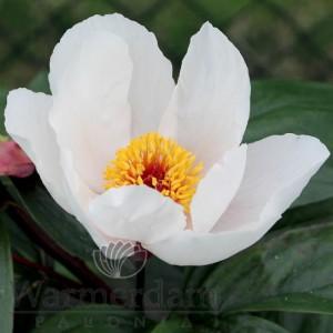 Paeonia 'Garden Peace'