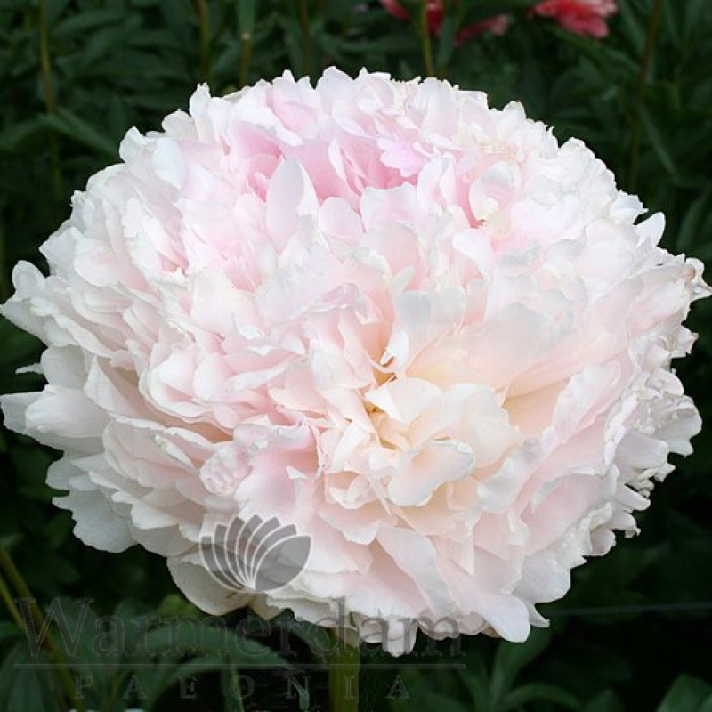 Paeonia 'Klehm's Pink Unknown'