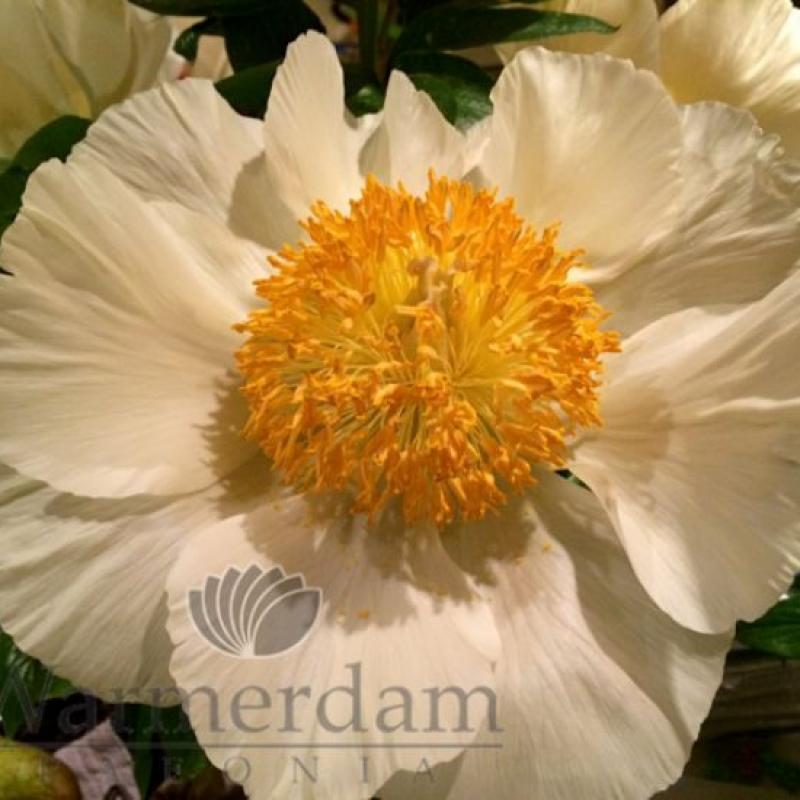 Paeonia 'Roy Pehrson's Best Yellow'