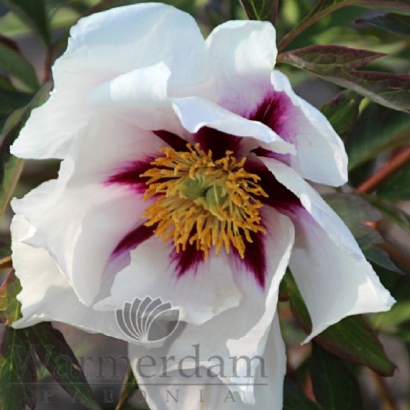 Paeonia 'Center Stage'