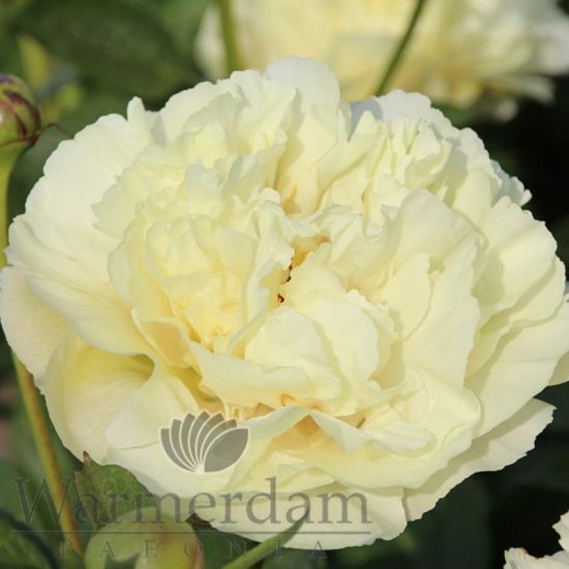 Paeonia 'Vanilla Schnapps'