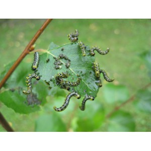 Aaltjes tegen larven bladwesp FC 10 mln/60 m²