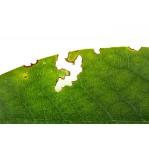 Aaltjes tegen larven taxus- en snuitkever H 5 mln/10 m²