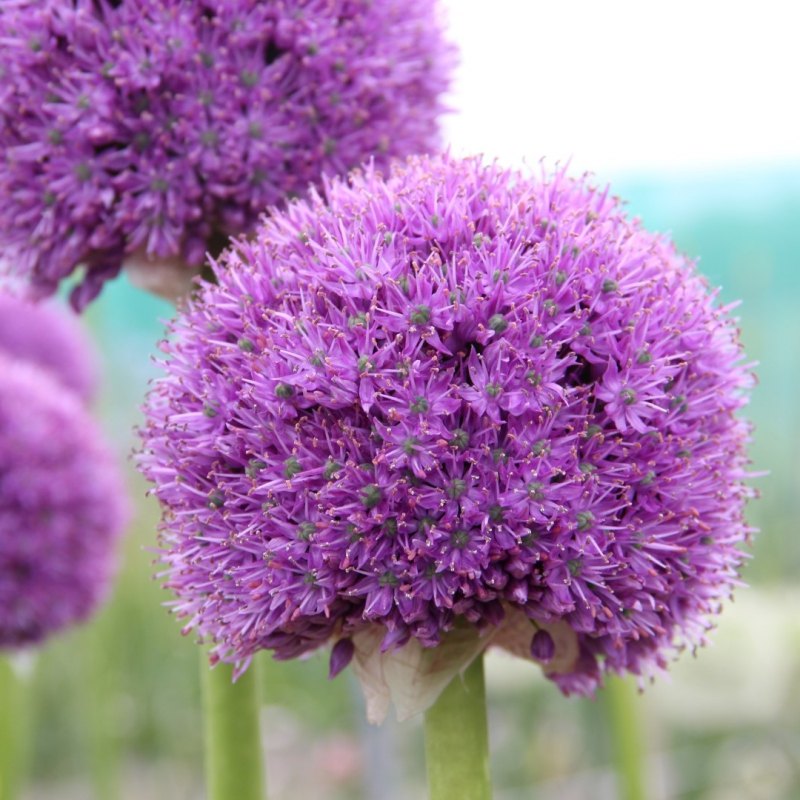 Allium 'His Excellency'