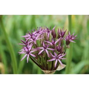 Allium 'Metallic Shine'
