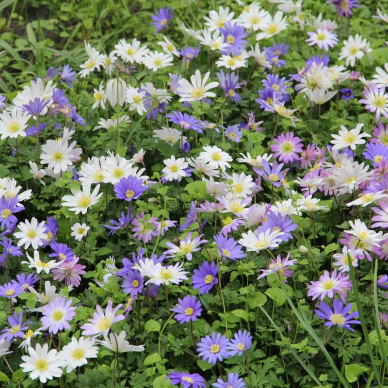 Anemone blanda -gemengde kleuren-