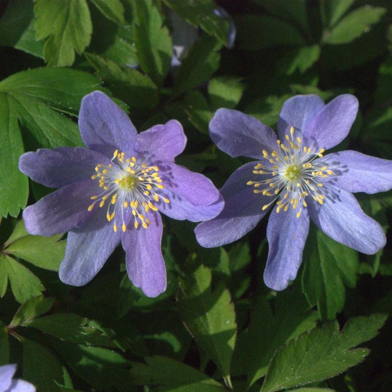 Anemone nemorosa 'Caerulea'