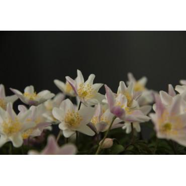 Anemone nemorosa 'Frühlingsfee'