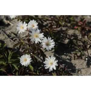 Anemone nemorosa 'Tinney's Blush'