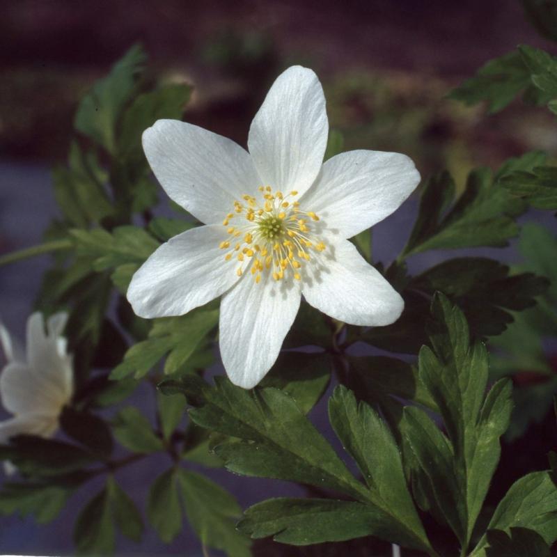 Anemone nemorosa 'Vreedenburg'
