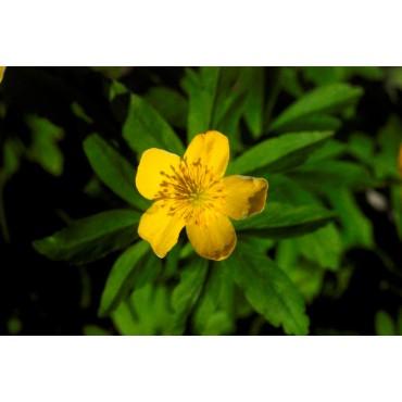 Anemone ranunculoides 'Antiesen'