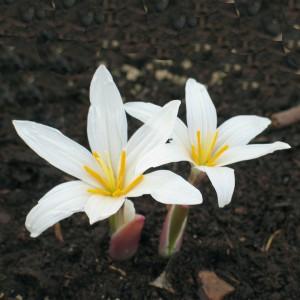Colchicum sp. 'Snow of Highland'