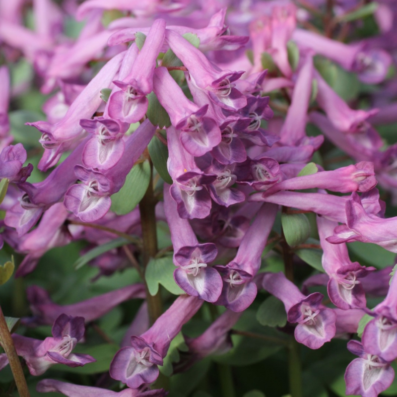 Corydalis solida 'Blue Dream'