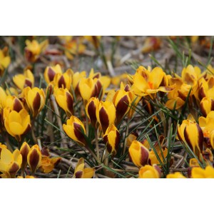 Crocus chrysanthus 'Elegance'