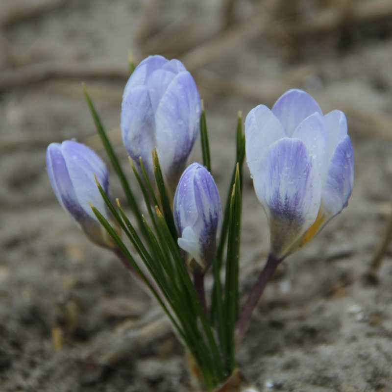 Crocus chrysanthus 'Skyline'