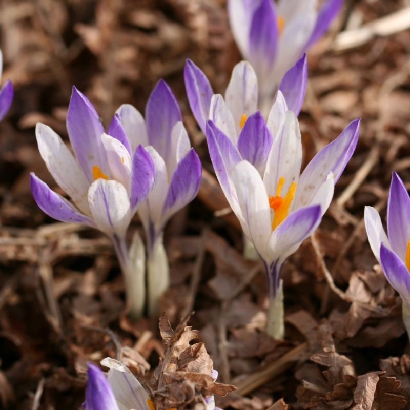 Crocus vernus 'Purple Desire'