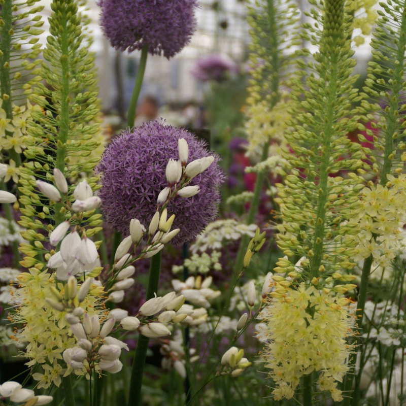 Eremurus 'Tropical Dream'