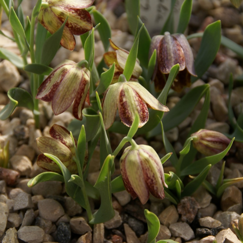 Fritillaria crassifolia subsp. crassifolia