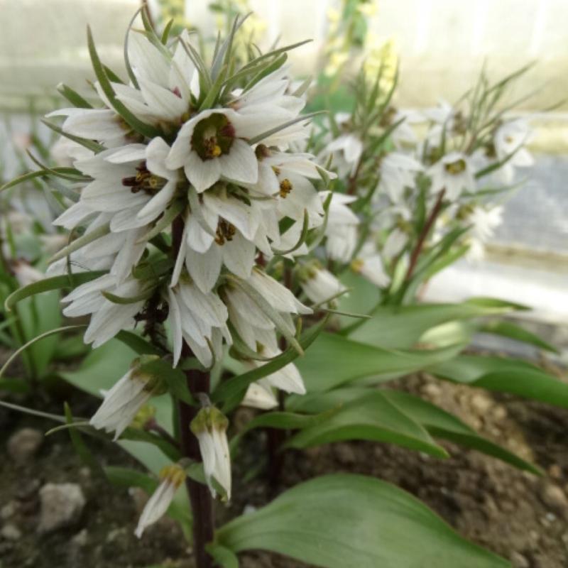 Fritillaria stenanthera subsp. ihnatschai