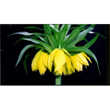 Fritillaria 'Double Gold'