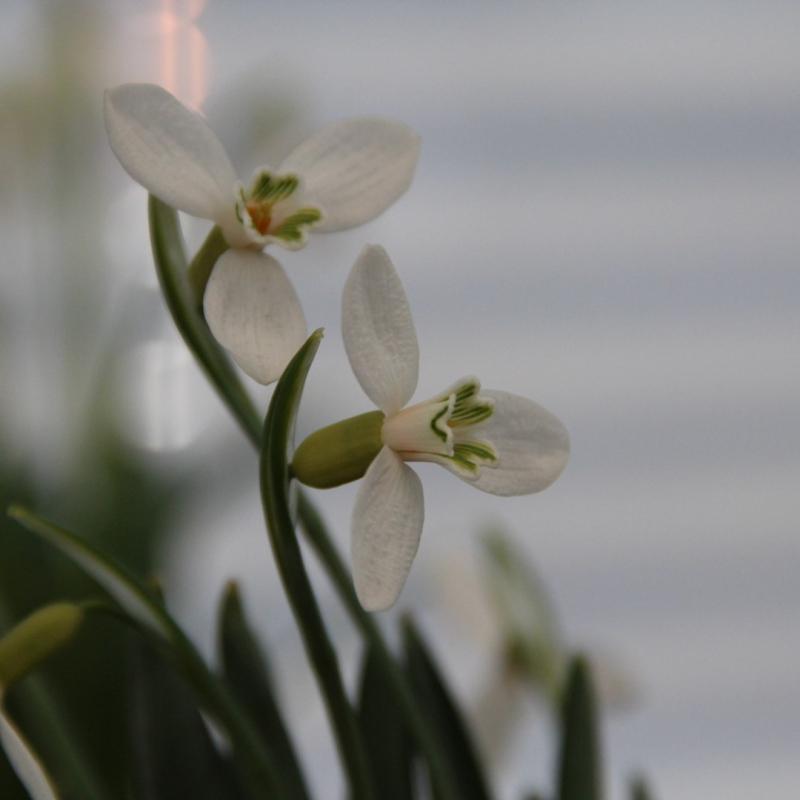 Galanthus alpinus var. bortkewitschianus