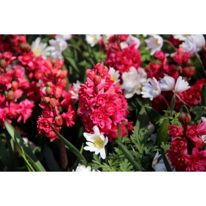 Hyacinthus orientalis 'Hollyhock'
