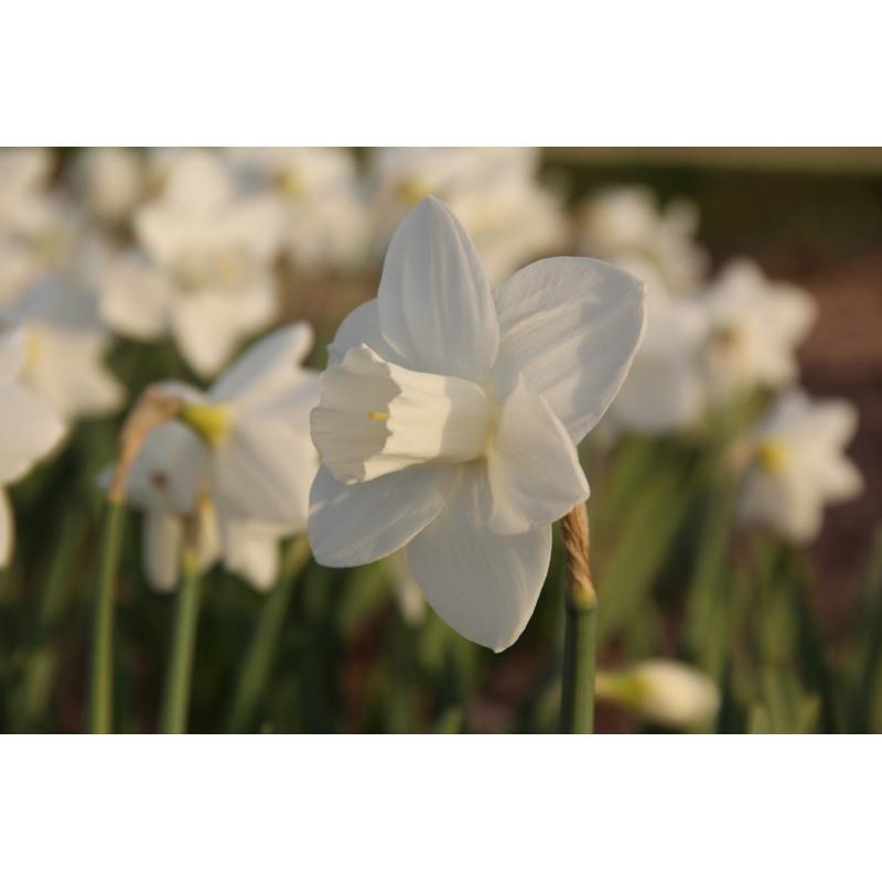 Narcissus 'Bloemendaal'
