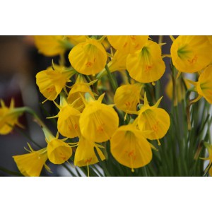 Narcissus bulbocodium 'Oxford Gold'