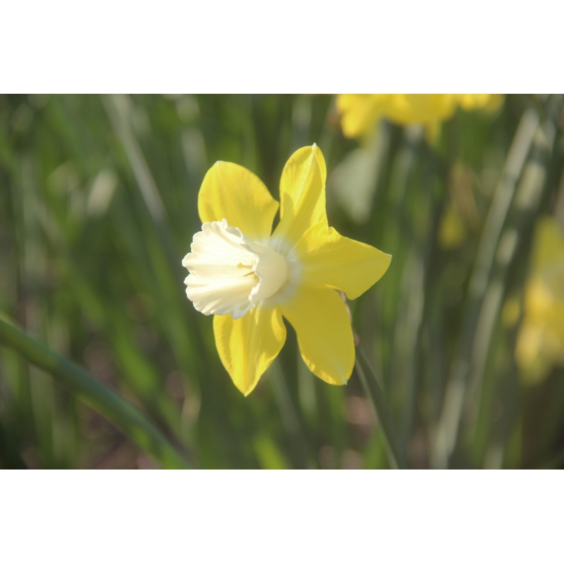 Narcissus 'Cloud Nine'