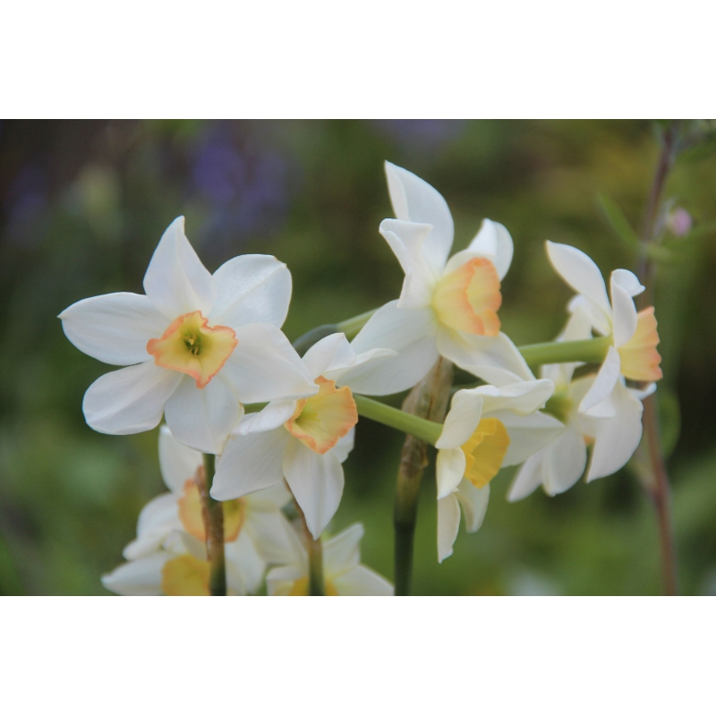 Narcissus 'Pink Angel'