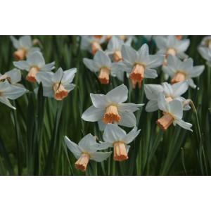Narcissus 'Reggae'