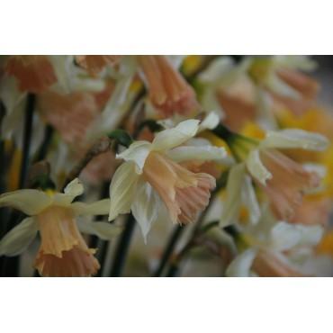 Narcissus 'Rosy Trumpet'