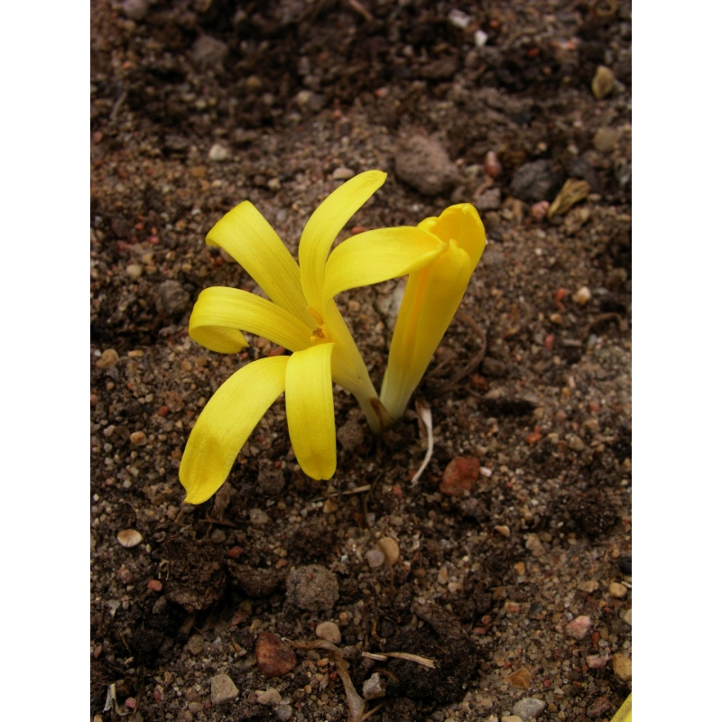 Sternbergia colchcifolia