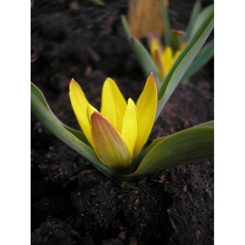 Tulipa hissarica