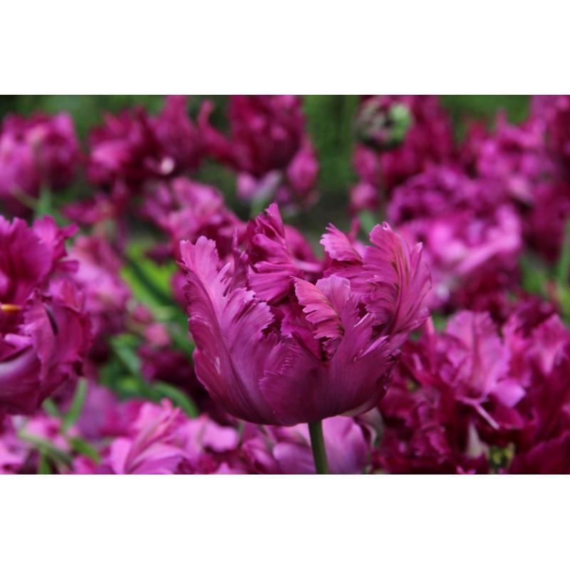 Tulipa 'Parrot Negrita'