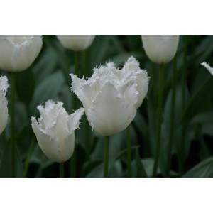 Tulipa 'Daytona'