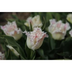 Tulipa 'Galerie'