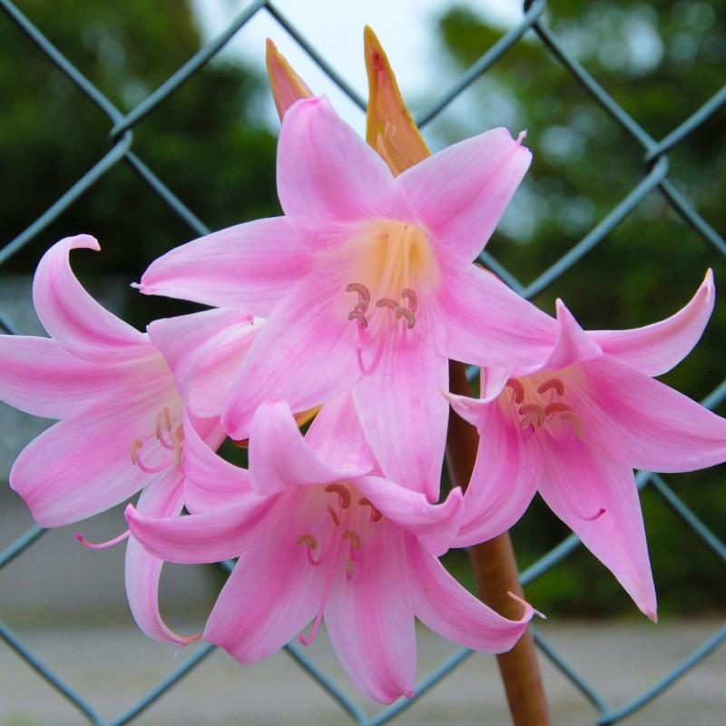 Top Amaryllis belladonna #CE_18