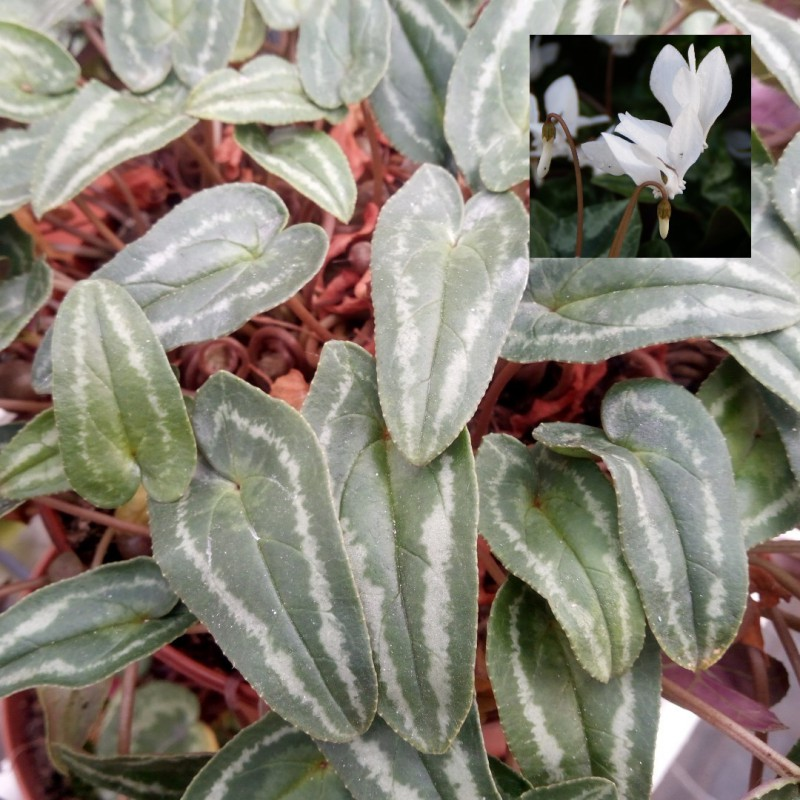 Cyclamen hederifolium...