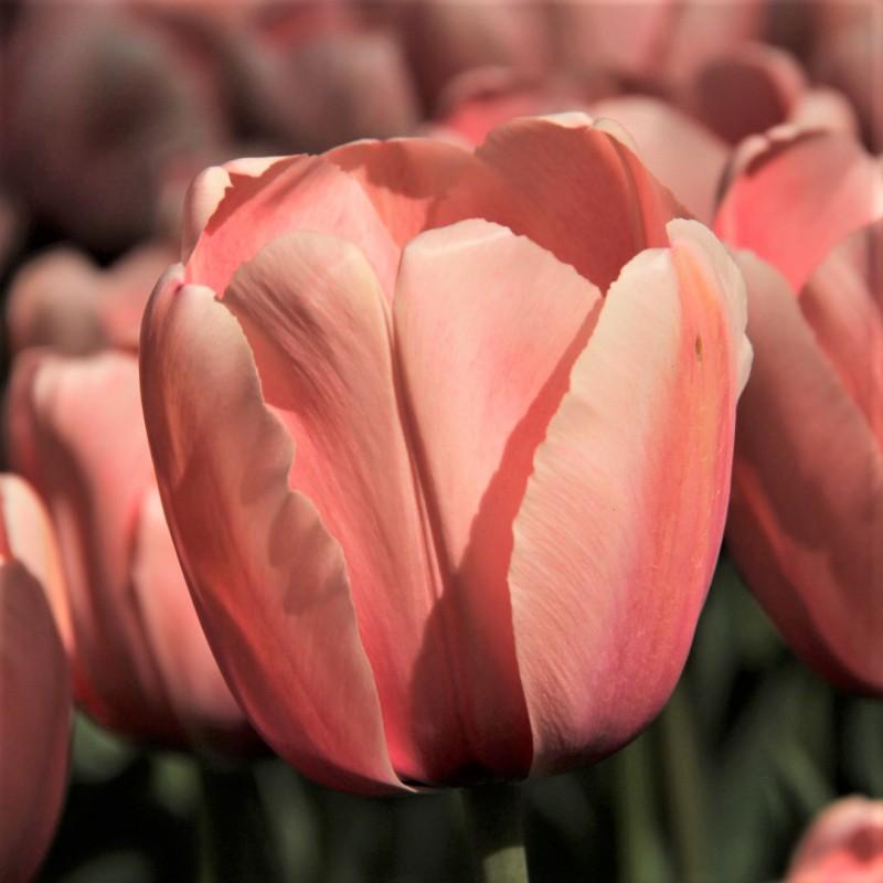 Tulipa 'Salmon Impression'