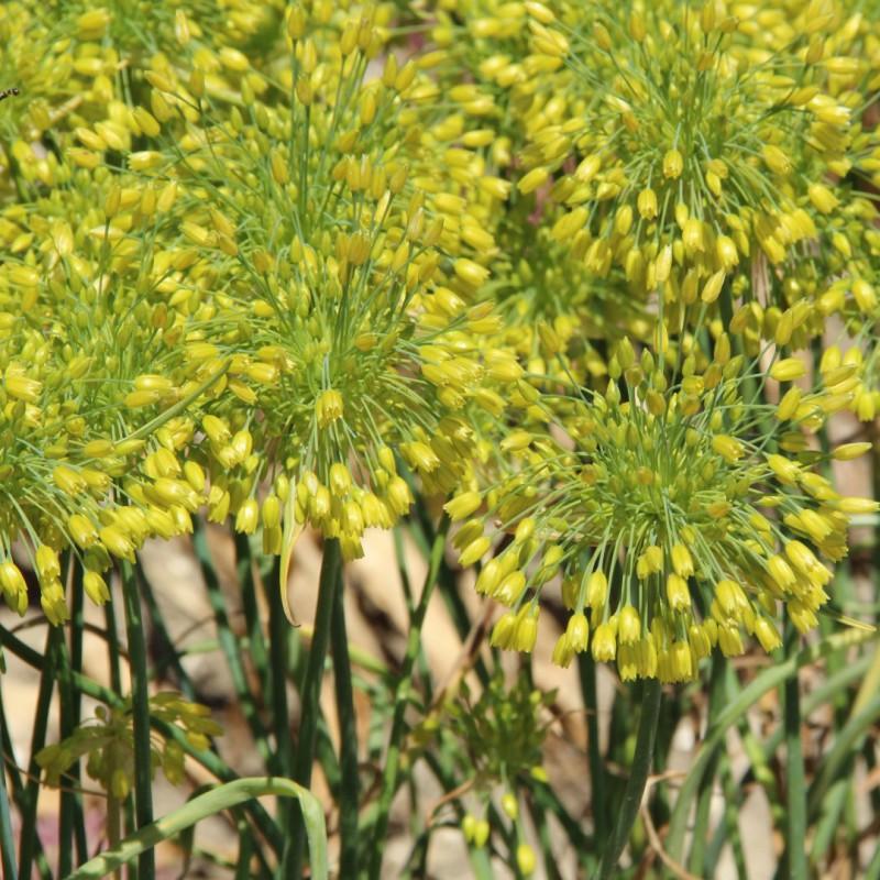Allium chloranthum 'Yellow...